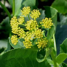Image result for Zizia aptera HEART-LEAVED MEADOW PARSNIP