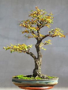 American Bonsai at the NC Arboretum - Page 9