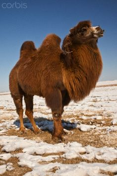 Bactrian Camel (Camelus bactrianus) in winter, Khongor Sand Dunes, Gobi Desert, Mongolia. The double hump Bactrian camel of the Gobi Desert are the only truly wild camels that still exist.