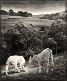 Two cows. Gelatin silver print. Copyright Andrew sanderson. www.andrewsanderson.com Black and White photography, Analogue, Film.
