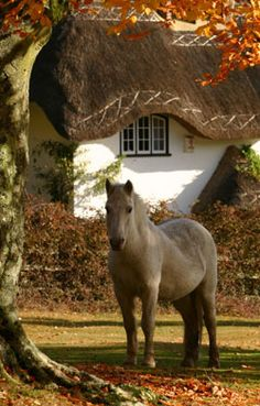 A beautiful New Forest pony. They aren't 'wild' and they are owned but they live year round loose in the forest and are rounded up regularly to be checked and counted etc. The New Forest, Hampshire, one of my favorite places and local to me. Beautiful Horses, Beautiful Places, Pretty Horses, Beautiful Sunset, Autumn Day, Autumn Leaves, Autumn Song, Golden Leaves, Winter
