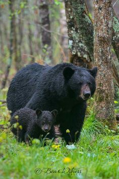 Black Bear Sow and her Cub! Hey Boo-Boo looky over there! Forest Animals, Nature Animals, Animals And Pets, Wild Animals, Bear Pictures, Animal Pictures, Beautiful Creatures, Animals Beautiful, Bear Cubs