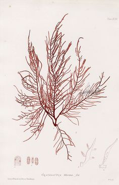 Bradbury Nature-Printed Seaweed Prints by Johnstone & Croall 1859