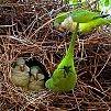 Foto caturrita (Myiopsitta monachus) por Regys Macêdo | Wiki Aves - A Enciclopédia das Aves do Brasil