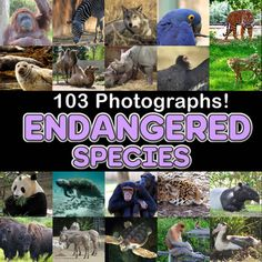 Photos / Photograph ENDANGERED SPECIES 102 images, Commercial Use OK! Clip Art from ZisforZebra on TeachersNotebook.com - (102 pages) - Photos / Photograph ENDANGERED SPECIES 102 images, photo, photos, clip art, clipart, real, photography, picture, realistic, real life, images, picture, fun, cute, science, geography, reading, ELA