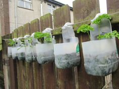 Sage and parsley growing on the fence in milk bottles! July 2014