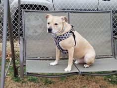 Buddy is an adoptable Dog - Labrador Retriever & Pit Bull Terrier Mix searching for a forever family near Palisades Park, NJ. Use Petfinder to find adoptable pets in your area.