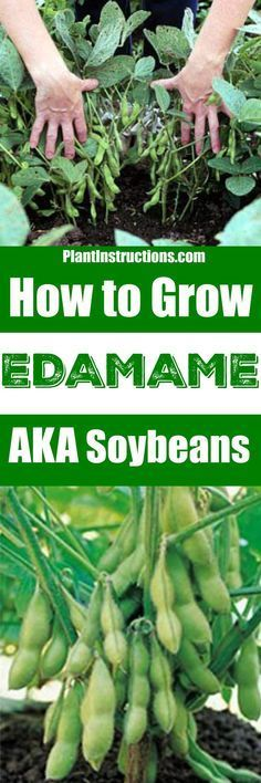 Herbal Gardening Ideas Edamame, or soybeans, are an ancient native crop from the Orient, and are surprisingly easy to grow! Learn how to grow edamame with our gardening guide! Container Gardening, Garden, Growing, Garden Plants, Herbs, Green Thumb, Indoor Vegetable Gardening, Gardening Tips, Outdoor Gardens