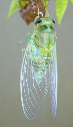 A pretty cicada, fresh out of its shell. A pretty cicada, fresh out of its shell. Beautiful Bugs, Beautiful Butterflies, Amazing Nature, Cool Insects, Bugs And Insects, Beautiful Creatures, Animals Beautiful, Cute Animals, Cool Bugs