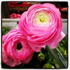 Ranunculo rosa