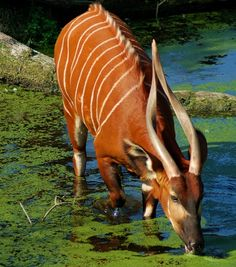 Eastern bongo. A herbivorous, mostly nocturnal forest ungulate (hoofed animal). Among the largest of the African forest antelope species.