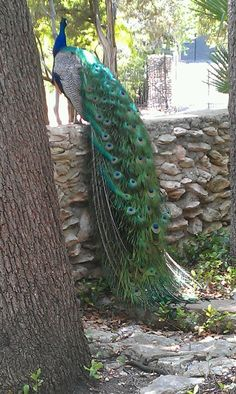 Peacock sanctuary @Mayfield Park, Austin, TX www.mayfieldpark.org.  photo by Melissa Brannon.