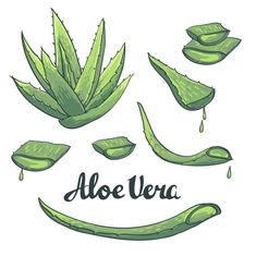 Aloe vera has amazing benefits being natural free from any side effects. The most important benefit is that it has anti-bacterial properties which prevent skin irritations and aids in cuts & burns.aloe-vera-and-its-benefits Aloe Vera For Skin, Aloe Vera Skin Care, Aloe Vera Gel, Aloe Vera Tattoo, Aloe Vera Image, Adobe Illustrator, Plant Tattoo, Plant Drawing, Forever Aloe
