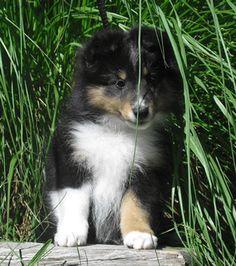 Little Tri pup