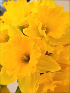 daffodils for spring!