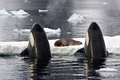 Photograph-Killer Whales (Orcinus orca) spy-hopping to observe Weddell Seal (Leptonychotes weddellii)-Photograph printed in the USA Orcas, Dolphins Animal, Baby Dolphins, Wale, Delphine, Ocean Creatures, Killer Whales, Animal Heads, Ocean Life