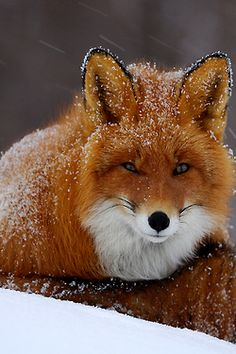 Snowy Fox by Igor Shpilenok