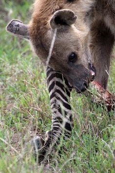 Hyena (Hyaenidae) in Serengeti