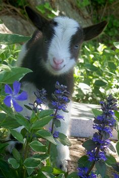 smiling goat in flowers - Country Living