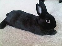 The Havana is a breed of rabbit that began in the Netherlands in 1898. Several breeds have arisen from the Havana, including the Fee de Marbourg, Perlefee and Gris Perle de Hal. Havanas are brown, blue, lilac or black, broken and weigh between 4.5 pounds (2.0 kg) and 6.5 pounds (2.9 kg).