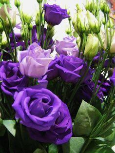 #Eustoma Rosita Blue - #purple