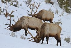 Yellowstone National Park  - Bull elk are often seen in small groups on Blacktail Plateau.