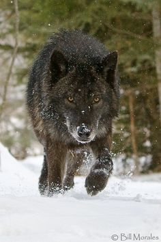 Timber Wolf @Sean Glass delorme