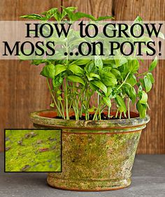 DIY GARDEN :: MOSS Growing Tutorial :: 39.95 at Williams-Sonoma or DIY?: Wash your pot, statue, stone well & air-dry 72 hrs. min. Mix 1/2 c. natural preserved (pre-soaked in water) or live moss, in a blender w/ a cup buttermilk, some plain yogurt, can of beer & 2 tsp. sugar til soupy. (Or just mix yogurt OR buttermilk, moss & water.) Sponge brush onto the surface. Set pot inside a dark area inside a plastic grocery/trash bag. Loosely tie shut. After 3 days, remove bag revealing growing moss!