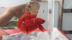 Betta Fish, Action, Pets, Animals, Poster, Group Action, Animales, Animaux, Animal