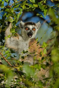 """And I'm Telling You, Blinking is Highly Overrated!"" by Ashley Vincent on 500px. Ring-Tailed Lemur in Southeastern Madagascar."