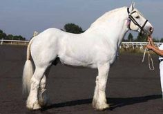 """The Boulonnais, also known as the """"White Marble Horse"""",[1] is a heavy draft horse breed. It is known for its large but elegant appearance and is usually gray, although chestnut and black are also allowed by the French breed registry. Originally there were several sub-types, but they were crossbred until only one is seen today. The breed's origins trace to a period before the Crusades and, during the 17th century, Spanish Barb, Arabian and Andalusian blood were added to create the modern…"""