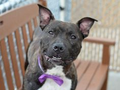 SASHA - A1043423 - TO BE DESTROYED 07/26/15  It's not that Sasha is so gorgeous in a b ... http://nycdogs.urgentpodr.org/sasha-a1043423/