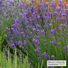 recommended place to buy lavender/lavendula Blue and Purple Lavandula angustifolia Munstead Violet, Lavandula angustifolia Munstead Violet, Munstead Violet English Lavender