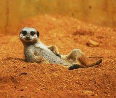 Suricata, descansando en el desierto. Muy bonito.