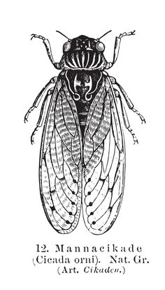 Black and White Cicada Shower Curtain by elle_be Cicada Tattoo, Insect Tattoo, Red Ink Tattoos, Body Art Tattoos, Just Ink, Beautiful Bugs, Insect Art, Ink Pen Drawings, Beautiful Tattoos