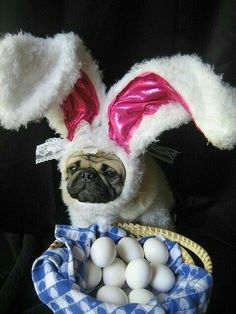 Easter pug is not amused. And my pug gives me looks when I dress her up! Amor Pug, Animal Dress Up, Funny Animals, Cute Animals, Pugs And Kisses, Cute Pugs, Funny Pugs, Funny Jokes, Fun Funny
