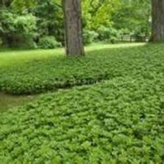 Reliable, adaptable and superbly hardy, pachysandra qualifies as one of the best shade perennials ever. Properly cared for in a site to its liking, pachysandra transforms into a living tapestry tha...