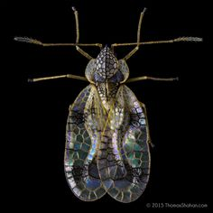 https://flic.kr/p/qNS5Sz   Azalea lace bug - Stephanitis pyrioides - Oregon   What a beautiful pest! Here's the Azalea lace bug, Stephanitis pyrioides - shot with a new Venus 60mm lens in the style of the stacked images I was producing for the lab a few months back. This specimen was alive and healthy (and resultingly, not terribly cooperative) - shot atop a clear plastic petri dish with black velvet below. Crop from a 5 shot stack at f/8 or so. Imaging these guys on a black background…