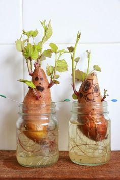 Fall Harvest / Thanksgiving Theme - How to grow sweet potato slips: Need jars, t. - Fall Harvest / Thanksgiving Theme – How to grow sweet potato slips: Need jars, toothpicks, and sw - Kid Science, Kindergarten Science, Science Experiments Kids, Science Activities, Activities For Kids, Nature Activities, Elementary Science, Teaching Science, Plant Experiments