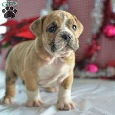 Beabull Puppy in Millersburg, OH