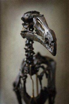 Dodo bird skeleton