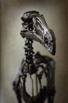 Dodo bird skeleton