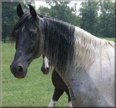 Stuntmans Star Of Magic. Tennessee Walking Horse.