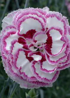 Dianthus 'Grans Favourite'