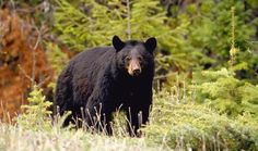 Ours noir parc national de la Mauricie, Québec