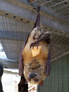 No you cannot have my fruit it is mine!  Flying Fox bat in rehab