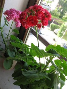 Red Rambler Plants, Red, Plant, Planets