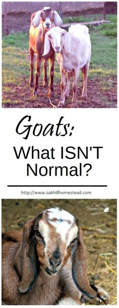 Goats: What ISN'T Normal?