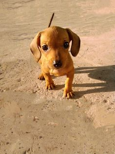 Dachshund puppy by Andrey Gorbakov, via cuteness comes natural! Weenie Dogs, Dachshund Puppies, Dachshund Love, Cute Puppies, Dogs And Puppies, Dapple Dachshund, Chihuahua Dogs, Baby Dogs, Pet Dogs