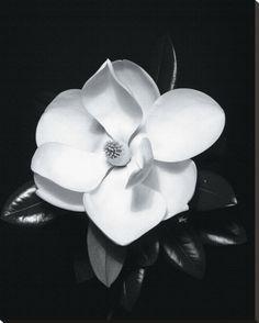 Ansel Adams Magnolia